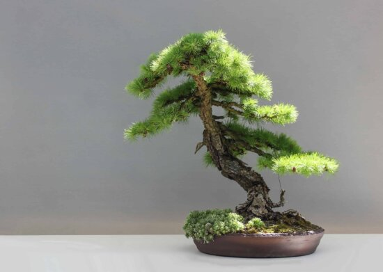 evergreen, tree, leaf, bonsai, nature, plant