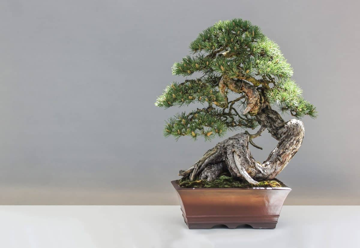 tree, flora, leaf, nature, bonsai, plant
