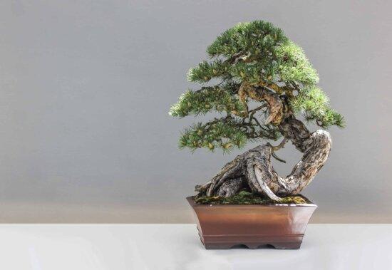 tree, flora, leaf, nature, bonsai, plant