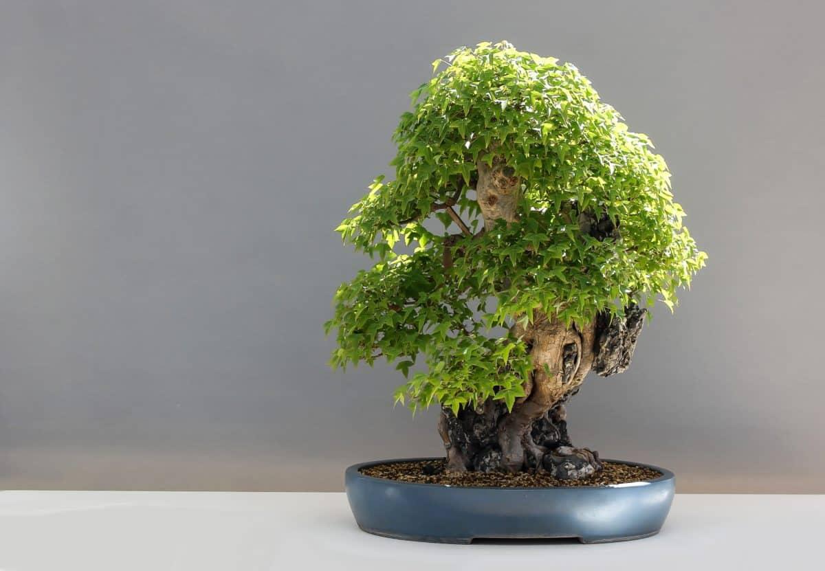 leaf, nature, tree, bonsai, plant, still life