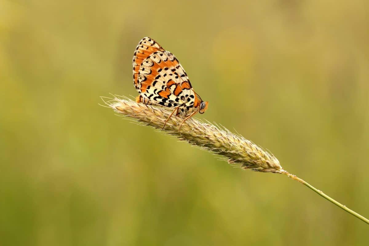 insect, nature, butterfly, arthropod, invertebrate, wildflower, amcro, daylight