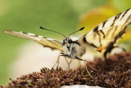 insecte, nature, papillon, la faune, animal, plante, herbe