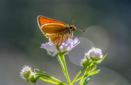 insect, nature, summer, butterfly, wild flower, macro, herb, plant, garden