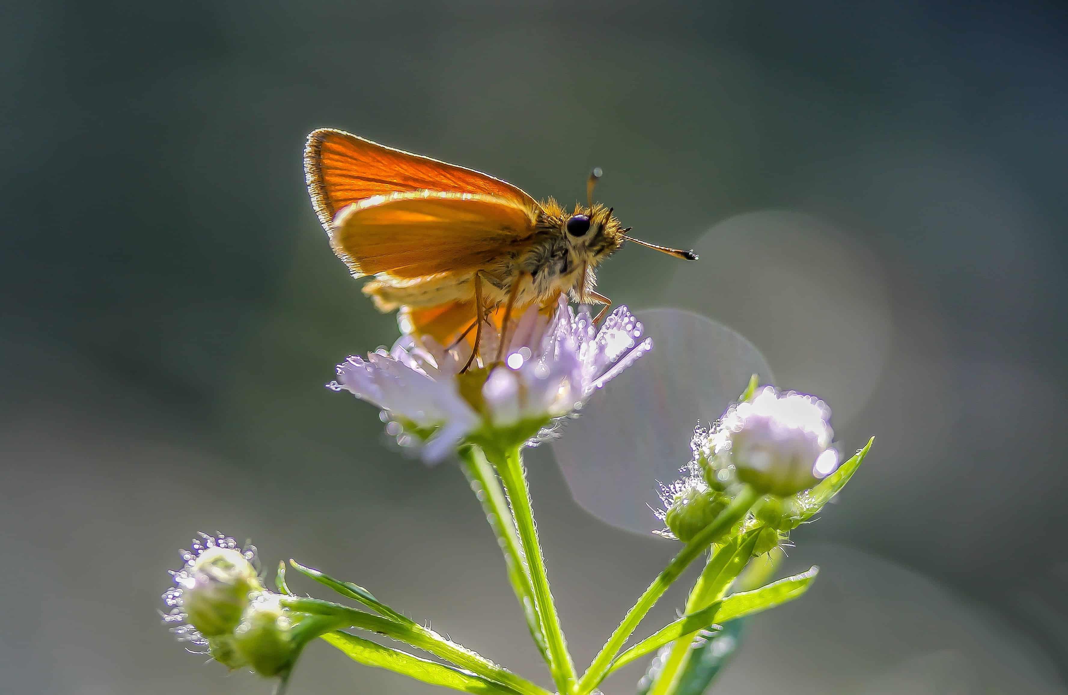 Imagen gratis: insecto, naturaleza, verano, mariposa, flor silvestre ...