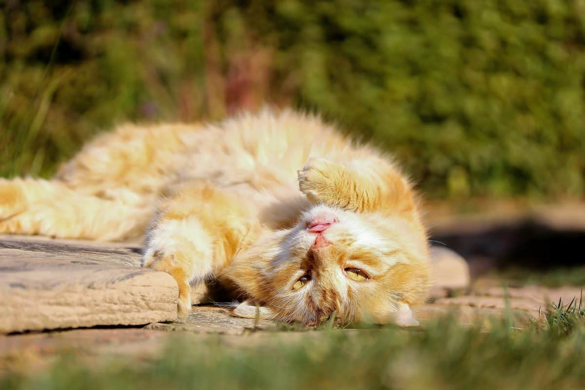 domestic cat, grass, animal, nature, wild, wildlife, outdoor