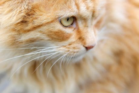 Portrait, animaux, oeil, fourrure jaune chat, mignonne, pet, kitty, chat domestique, félin,