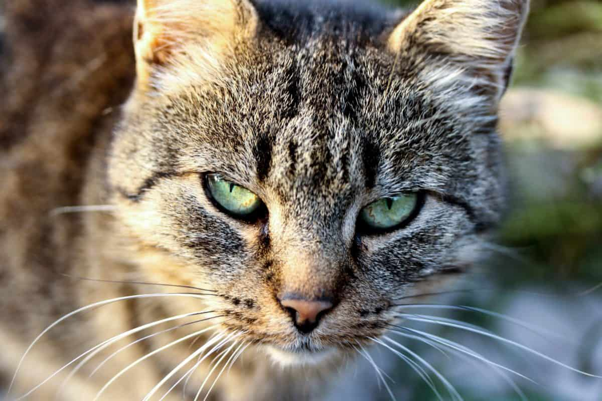 Retrato, domésticos lindo, ojo, naturaleza, gato, animal, pelaje, felino, mascotas