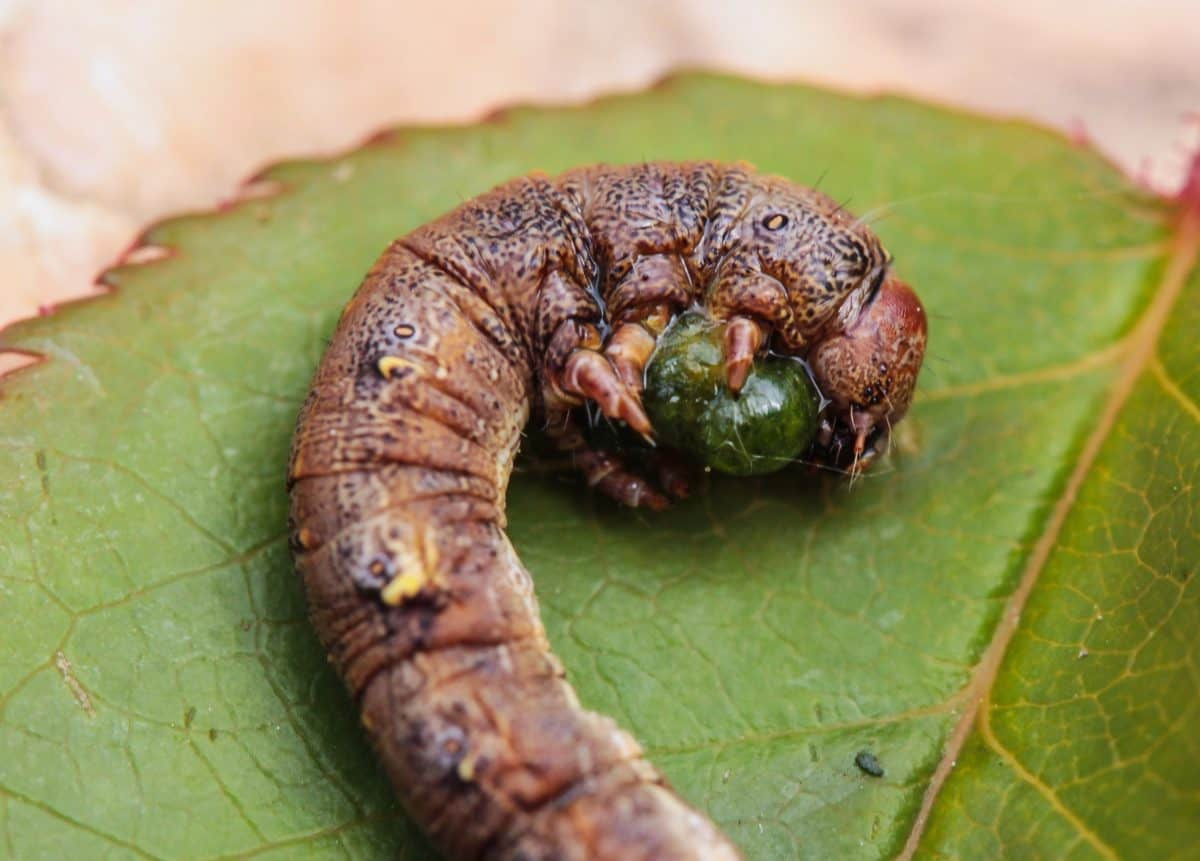caterpillar, moth, invertebrate, worm, insect, macro, larva