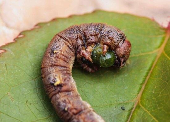 Raupe, Falter, Wirbellosen, Wurm, Insekt, Makro, Larve