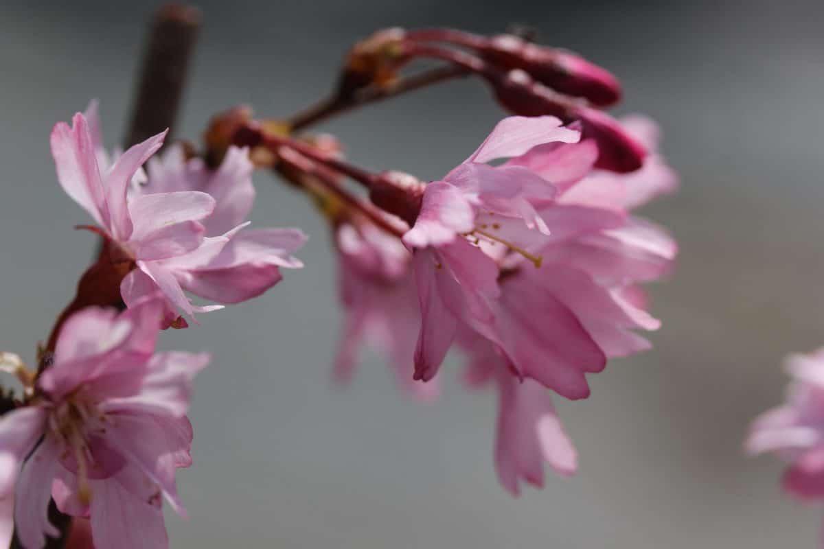 nature, garden, flower, leaf, flora, petal, pink, blossom