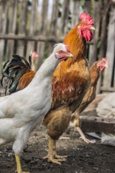 Gallo, natura, animale, becco, galletto, pollame, uccello, pollo