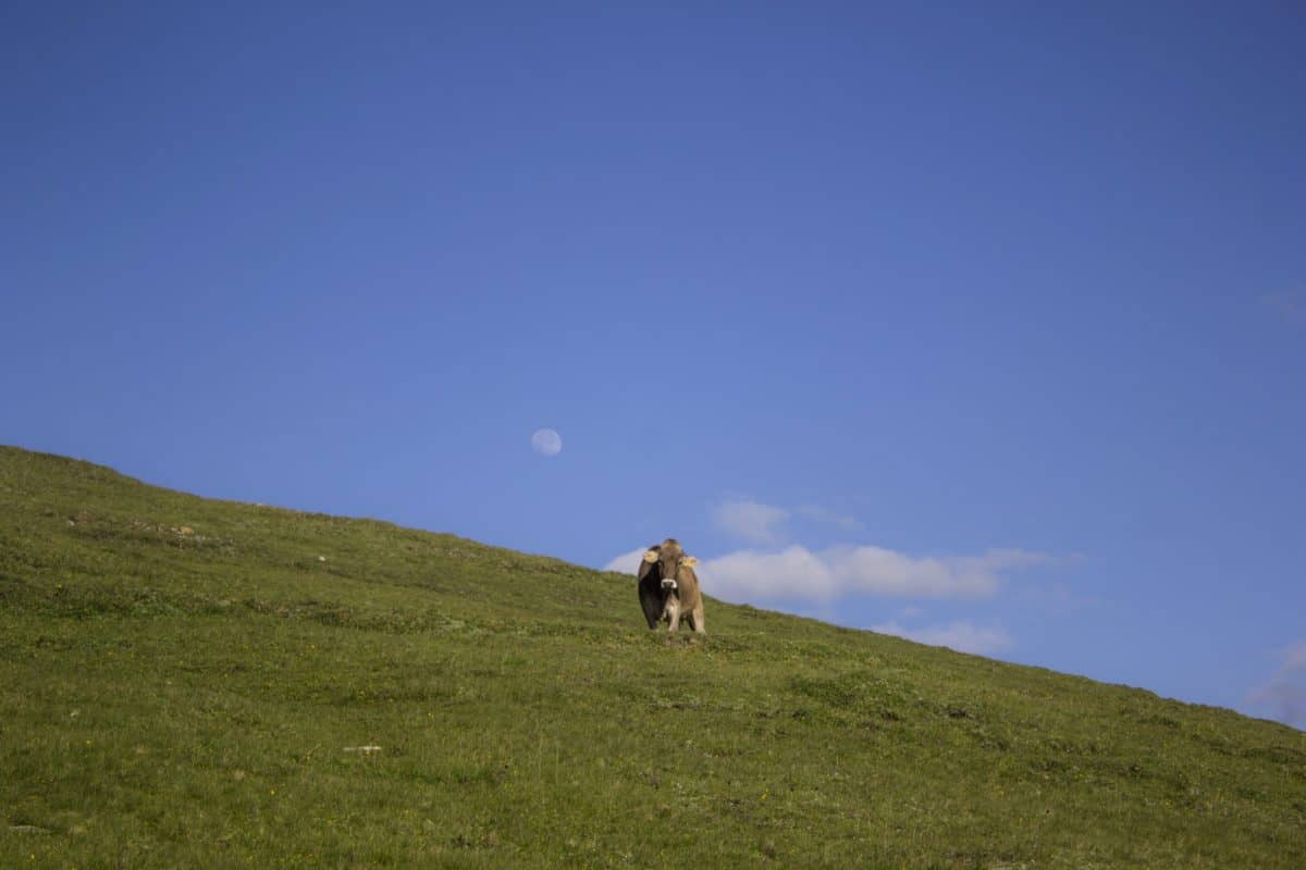암소, 푸른 하늘, 잔디, 힐, 풍경, 초원, 소, 산, 야외