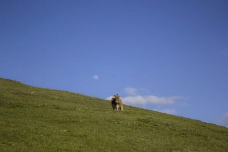 cow, blue sky, grass, hill, landscape, grassland, cow, mountain, outdoor