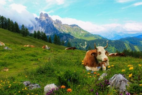 landscape, cow, summer, mountain, nature, grass, sky, outdoor