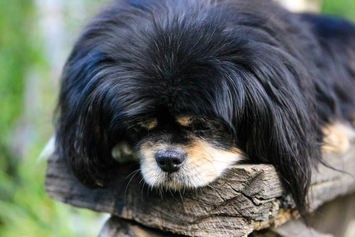 black dog, portrait, animal, cute, pet, fur, organism, canine, puppy