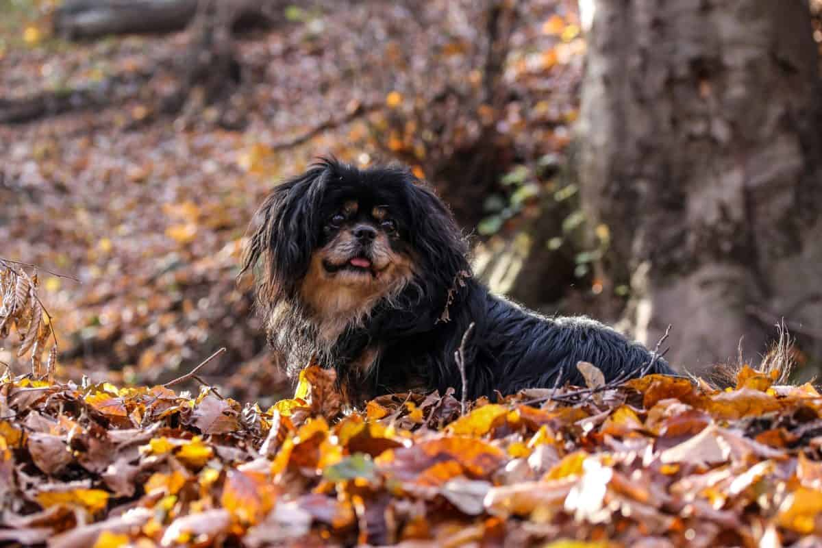 nature, animal, organisme, chien, canin, animal, mignon, chiot, plein air, automne