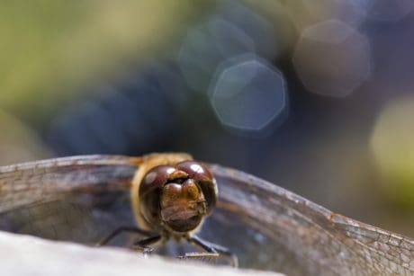 insect, nature, arthropod, macro, dragonfly, outdoor