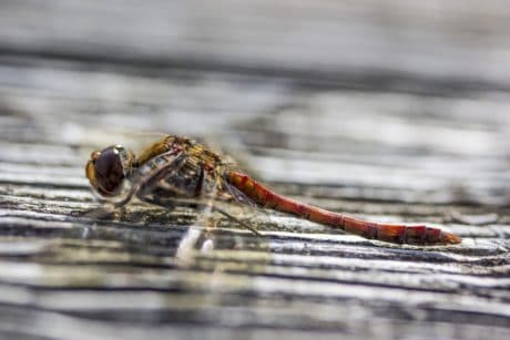 insect, nature, wildlife, dragonfly, invertebrate, arthropod, macro