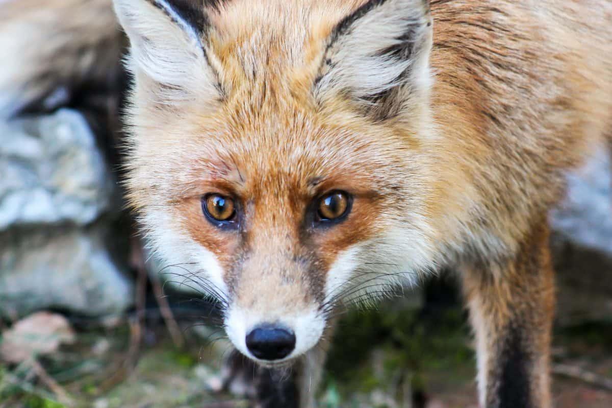 fur, wildlife, fox, animal, nature, predator, wild