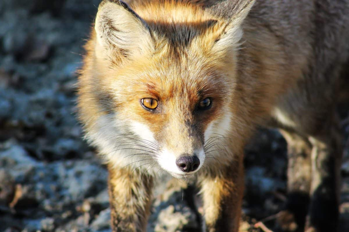 wild, predator, wildlife, animal, fox, fur, nature