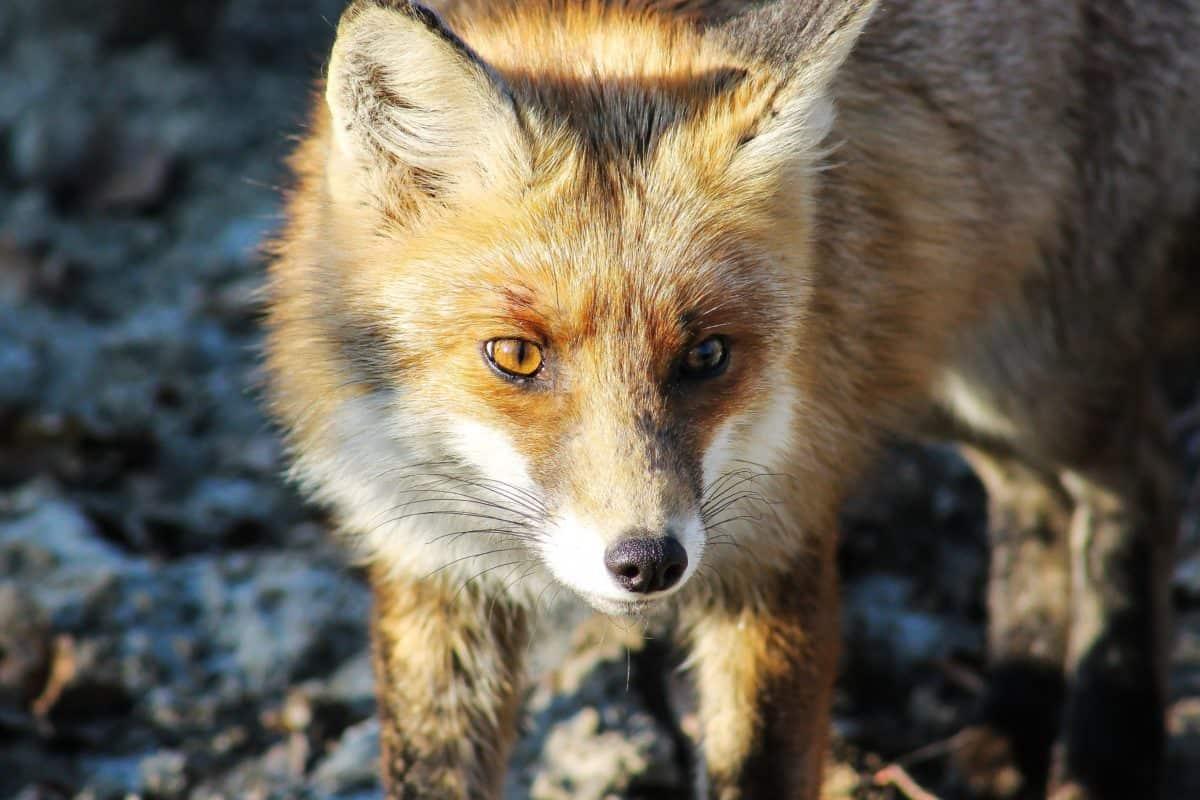 sauvage, prédateurs, la faune, animal, renard, fourrure, nature
