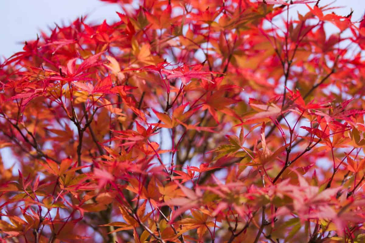nature, flora, leaf, plant, tree, branch, shrub, red