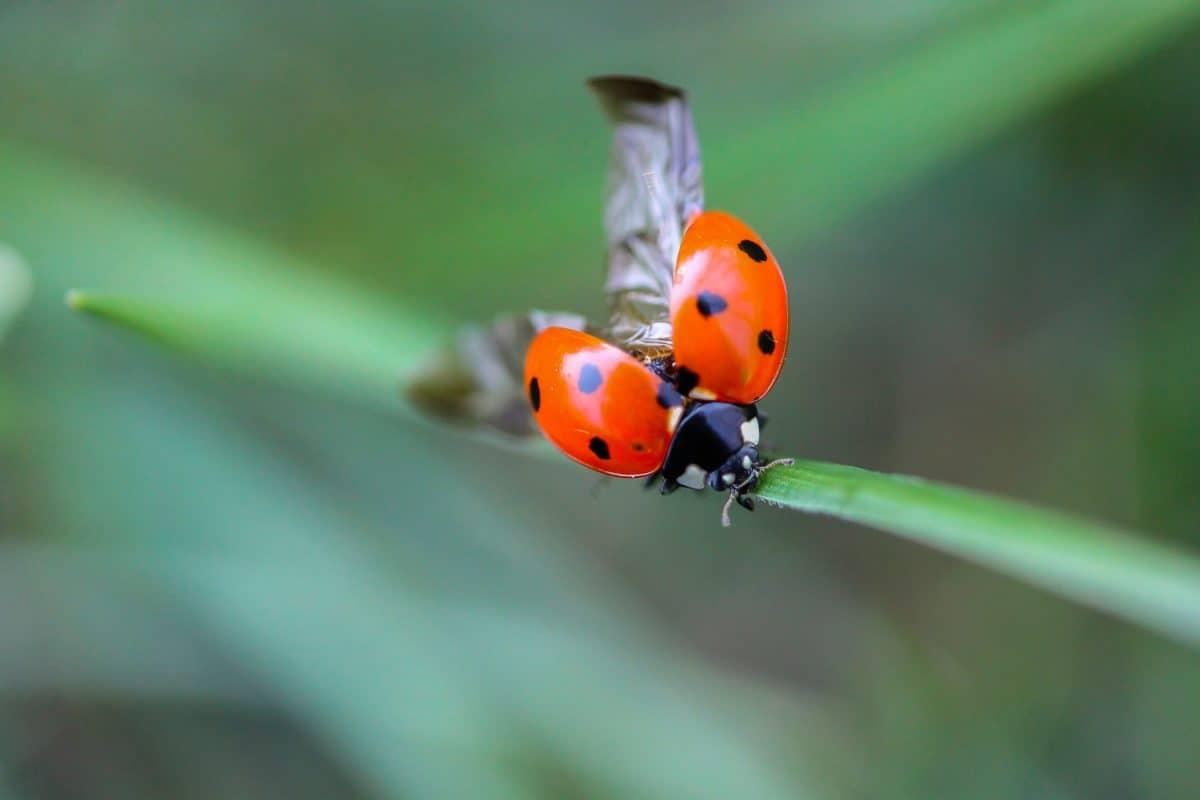 nature, coccinelle, macro, détail, insecte, animal