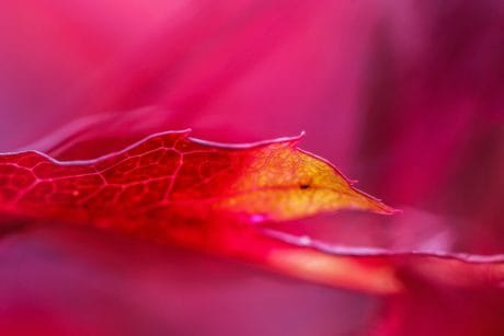 flower, nature, flora, leaf, horticulture, red, macro