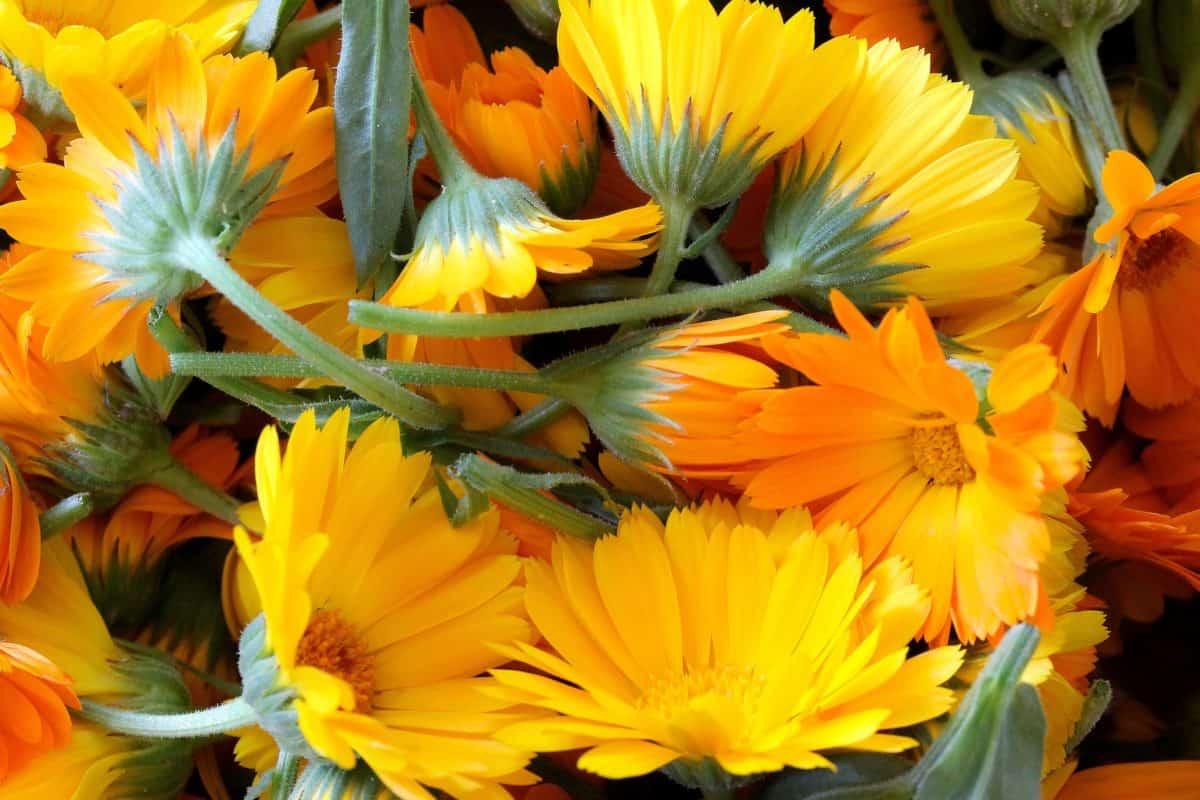 leaf, flora, yellow flower, summer, nature, garden, petal, horticulture