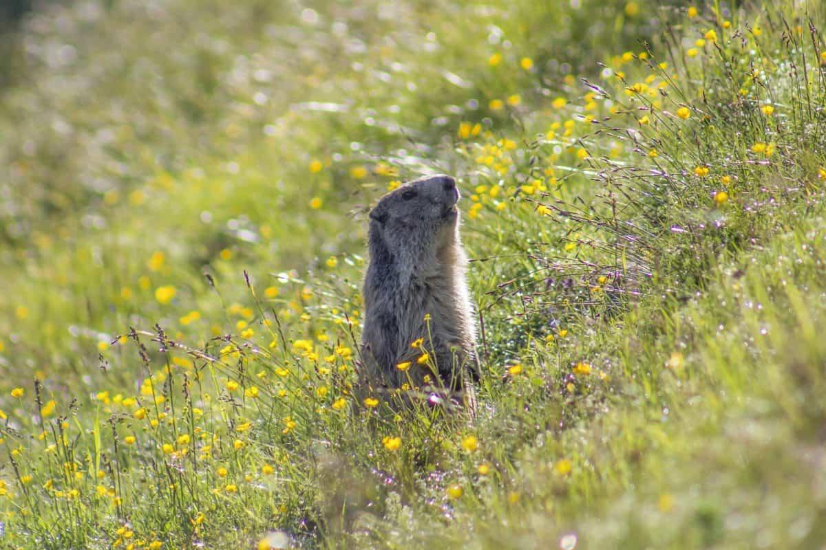 fauna, natura, selvatico, fiore di roditore, erba, all'aperto