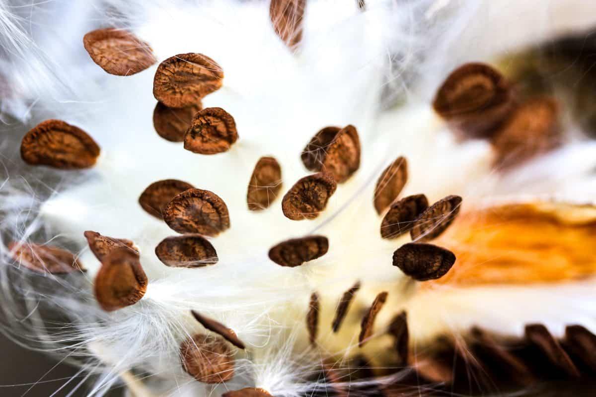 semilla, macro, blanco, detalle, hierba, marrón