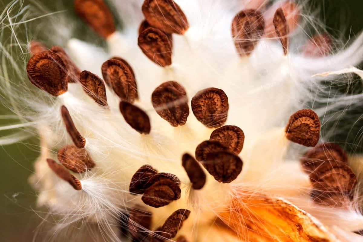 семян, макро, детали, травы, коричневый