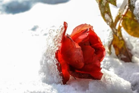 winter, cold, snow, rose, petal, red flower, snowflake