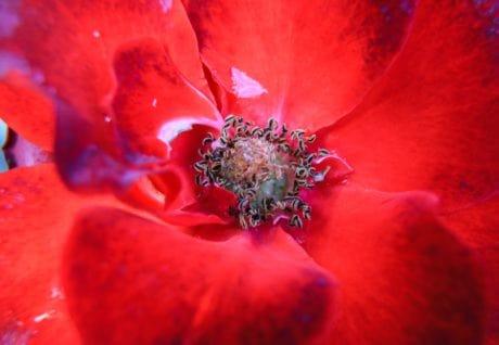 fleur, nature, pétale, plante, fleur rouge, macro, détail