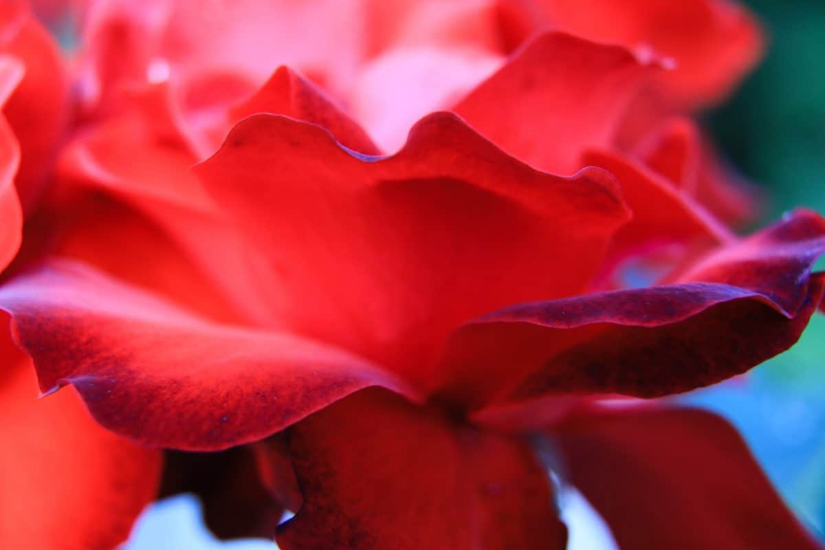nature, flora, rose, leaf, red flower, petal, plant, red