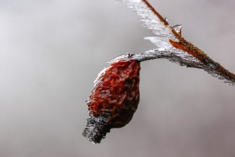 winter, nature, macro, frost, snowflake, snow, fruit, outdoor, ice, tree