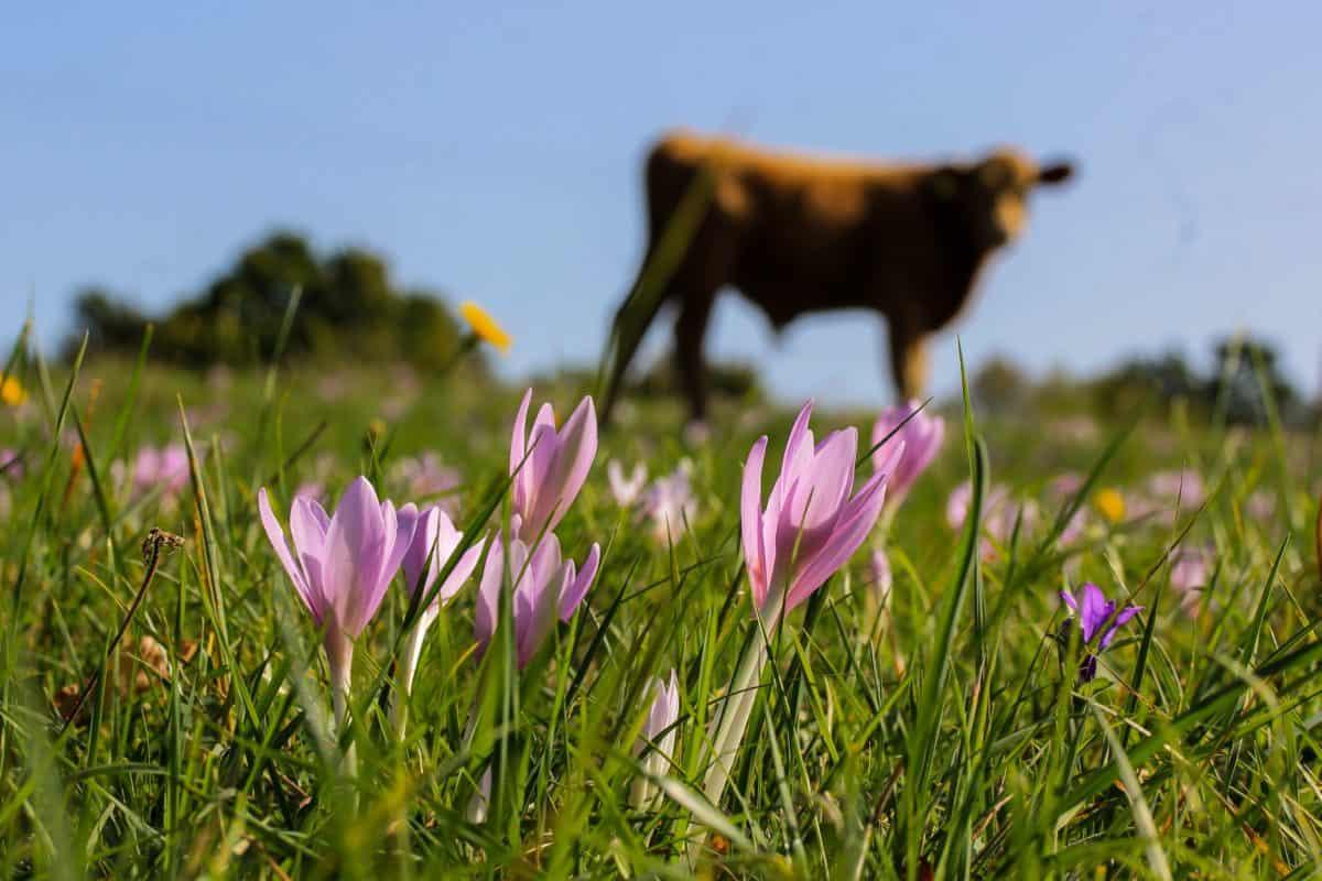 cow, field, sun, grass, nature, summer, flower, plant, blossom