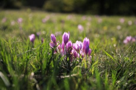flora, green grass, wildflower, nature, field, crocus, plant