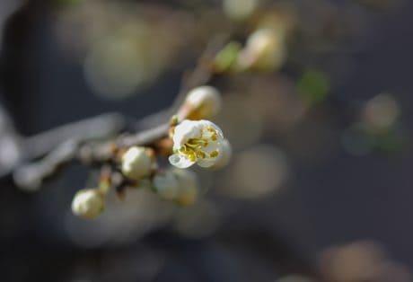 pommier, nature, fleur, plante, arbre, branche, fleur