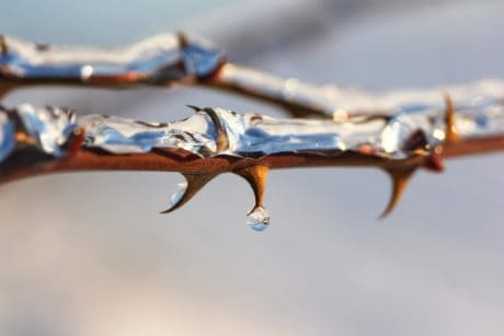 tree, thorn, droplet, water, frozen, winter, rose