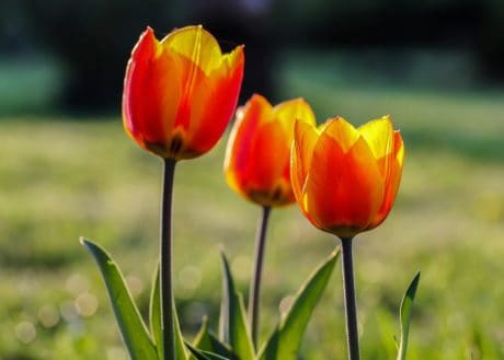 tulip, flora, summer, garden, leaf, nature, flower, plant