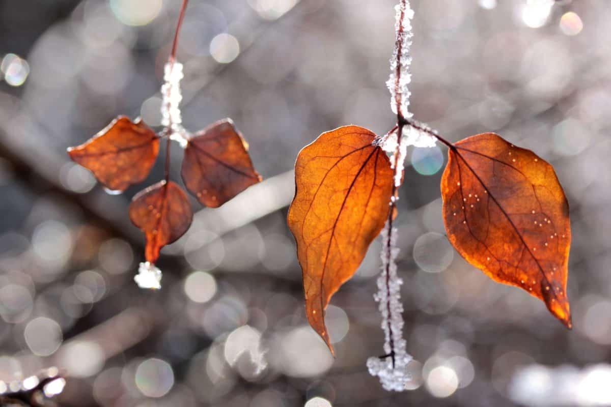 hiver, arbre, feuilles, lumière, nature, neige, glace