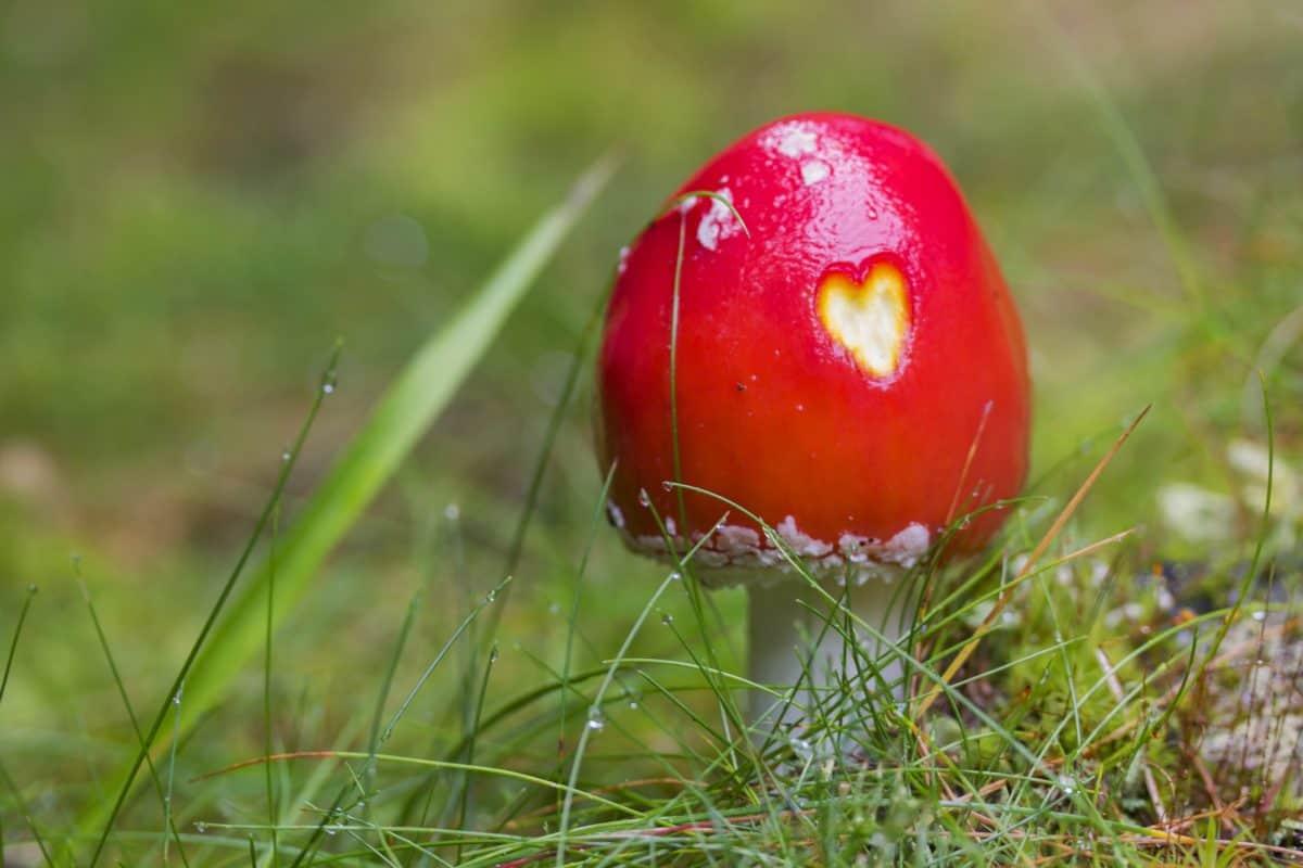 Grasgrün, Pilz, Herz, rot, Natur, Organismus