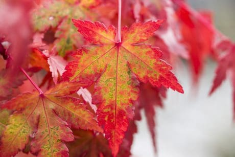 red leaf, flora, nature, autumn, tree, plant, foliage