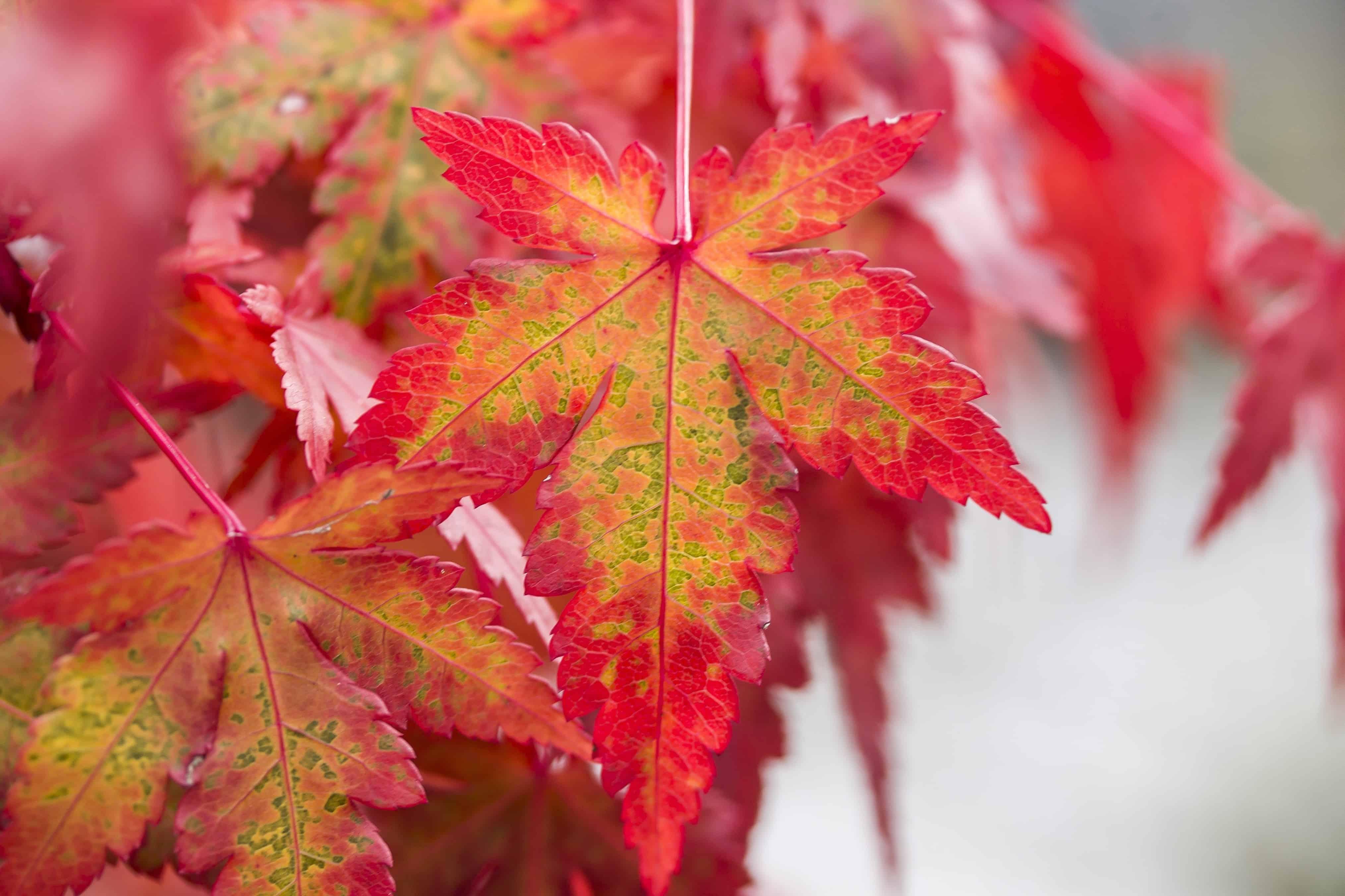 image libre: feuille rouge, flore, nature, automne, arbre, plante