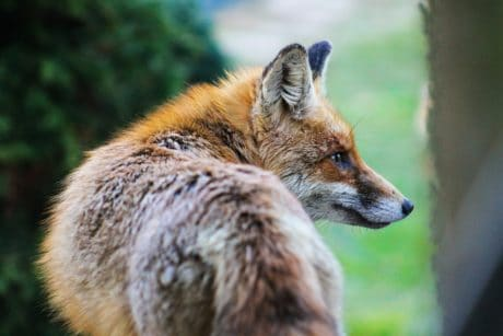 fox, wildlife, nature, fur, animal, wild, tree, outdoor