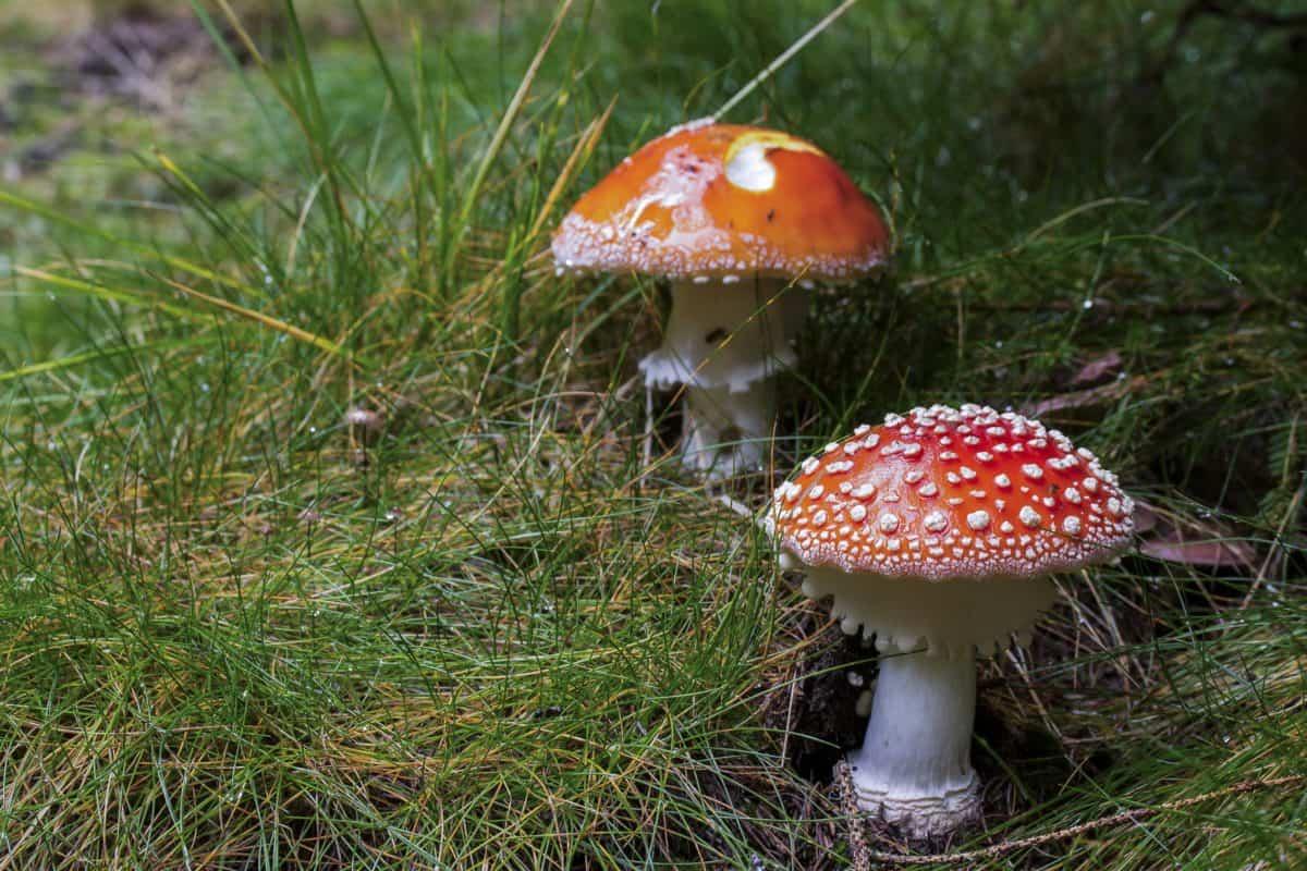 nature, sauvage, herbe, champignon, poison, toxique, champignon, organisme