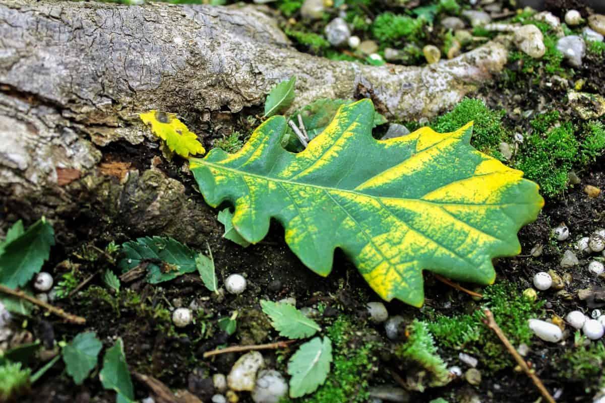 legno, foglia, natura, flora, rovere, autunno, pianta