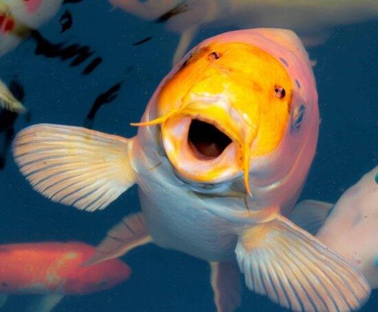 water, ocean, goldfish, fish, underwater