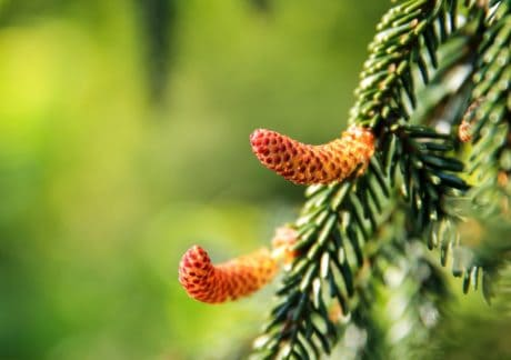 tree, branch, nature, macro, detail, pine tree, plant, conifer